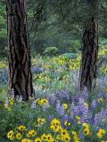 Balsam Root and Lupines Among Pacific Ponderosa Pine  Rowena  Oregon  USA