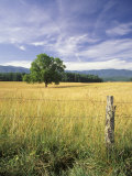Tree in Grassy Field  Cades Cove  Great Smoky Mountains National Park  Tennessee  USA