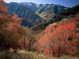 Maples on Slopes above Logan Canyon  Bear River Range  Wasatch-Cache National Forest  Utah  USA
