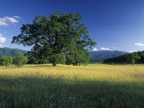 White Oak Tree in Grassy Field  Cades Cove  Great Smoky Mountains National Park  Tennessee  USA