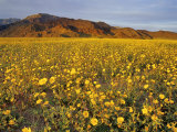 Field of Desert Gold Wildflowers  Death Valley National Park  California  USA