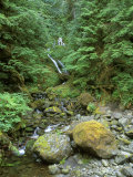 Quinault Rainforest  Olympic National Park  Washington  USA