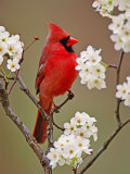 Male Northern Cardinal Among Blossoms of Pear Tree
