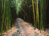 Bamboo Forest on the Waimoku Falls Trail  South of Hana  Maui  Hawaii  USA