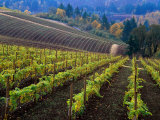 Vineyard in the Willamette Valley  Oregon  USA