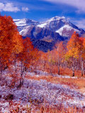 Fall Aspen Trees and Early Snow  Timpanogos  Wasatch Mountains  Utah  USA