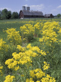 Ragwort and Barn  Bardstown  Kentucky  USA