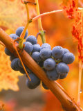 Dew on Cabernet Grapes  Napa Valley Wine Country  California  USA