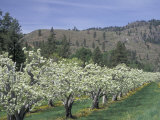 Apple Orchard Trees in Bloom  Methow Valley  Washington  USA