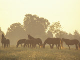Thoroughbred Race Horses at Sunrise  Louisville  Kentucky  USA