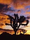 Spectacular Sunrise at Joshua Tree National Park  California  USA