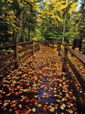 Boardwalk Full of Maple Leaves at Tahquamenon State Park  Michigan  USA