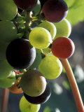 Cab Franc  Grape Cluster in Veraison  Seven Hills Vineyard  Umatilla County  Oregon  USA