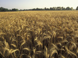 Wheat Field Ready for Harvesting  Louisville  Kentucky  USA