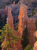 Pinnacles and Ponderosa Pines at Sunrise  Fairyland Canyon  Bryce Canyon National Park  Utah  USA