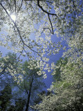 White Flowering Dogwood Trees in Bloom  Kentucky  USA