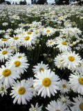 Shasta Daisy Crop  near Silverton  Oregon  USA