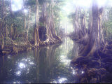 Giant Pterocarpus Trees  Twisted Roots Rising from the Water as Sunlight Breaks Through the Leaves