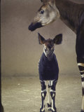 Okapi Standing Near Mother  San Diego  Animal Conservation Through Wild Animal Propagation Trust