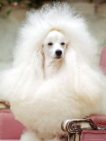 Miniature poodle sitting in armchair at 88th annual Westminster Kennel Club Dog Show
