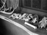 Collection of Antlers  Skulls and Bones on Window Still at Ghost Ranch of Georgia O&#39;Keeffe&#39;s Home