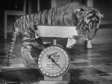 Rajpur  a Tiger Cub  Being Weighed on a Scale