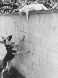 Cat Owned by Olympic Track Star Harold Connolly  on Wall Hissing at Police German Shepherd