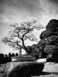 110 Year Old Bonsai Maple Tree on Estate of Collector Keibun Tanaka in Suburb of Tokyo