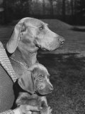 Champion Weimaraner and her 8-week-old male puppy with proud owner Mrs Harold Goldsmith