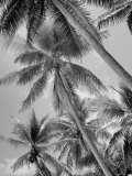 Palm Trees on Ellice Islands  Tuvalu