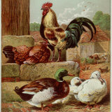 Kronheim's Chicken  Rooster and Ducks in Farmyard  from Aunt Louisa's Birthday Gift