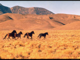 Wild Mustang Horses Running Across Field in Wyoming and Montana