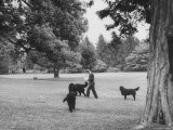 US Attorney General Robert Kennedy Reading a Book While Walking Across the Lawn with His Three Dogs