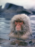 Japanese Macaque  Snow Monkey Sitting in Waters of Hot Spring in Shiga Mountains During a Snowfall