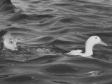 Shelley SilkDaughter of Photographer George Silk  Swimming Behind Pet Duck in Long Island Sound