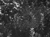 Spider in Its Web: Orb Weaver's Web  Measuring 3 Feet Across