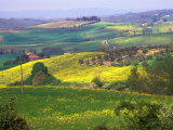 Green Rolling Hills and Spotted Yellow Mustard Flowers  Tuscany  Italy