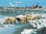 Alaskan Brown Bear Roars  McNeil River State Game Preserve  Alaska  USA