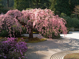 Cherry Tree Blossoms Over Rock Garden in the Japanese Gardens  Washington Park  Portland  Oregon