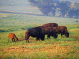 Bison at Neil Smith National Wildlife Refuge  Iowa  USA