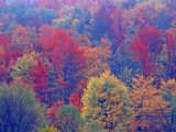 Hardwood Forest in Autumn  Michigan  USA