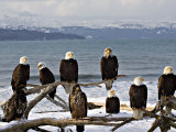 Bald Eagles in Winter  Homer  Alaska