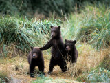 Grizzly Bear Cubs in Katmai National Park  Alaskan Peninsula  USA