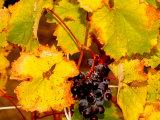 Wine Field  Chianti Region  Tuscany  Italy