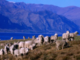 Lake Hawea Merino Sheep  Southern Alps  New Zealand