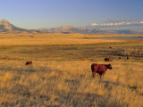 Cattle Graze Along the Rocky Mountain Front near Choteau  Montana  USA
