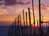 Sunset Through the Vines of the Italian Wine Country  Tuscany  Italy