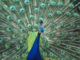 Peacock Spreading Colorful Feathers
