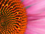 Close-up of a Cone Flower in the summertime  Sammamish  Washington