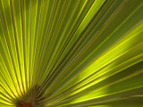Traveler&#39;s Palm Leaf Detail  Edgewater  Florida